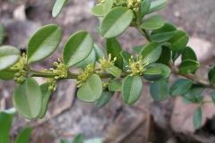 Buxus sempervirens (Boxwood)