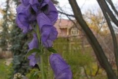 Aconitum carmichaelii 'Arendsii (Monkshood)