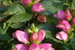 Chelone glabra (Shellflower)
