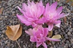 Colchicum 'Waterlily' (Autumn Crocus)