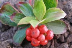 Cornus canadensis fruit (Bunchberry)