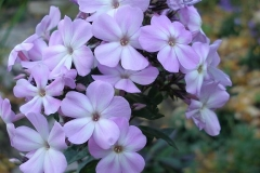 Phlox paniculata 'Amethyst' (Garden Phlox)