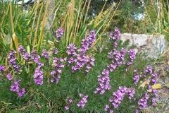 Teucrium chamaedrys 'Summer Sunshine' (Germander)