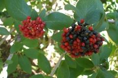 Viburnum lantana fruit (Wayfaring Bush)