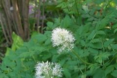 Actaea rubra (Baneberry)