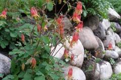 Aquilegia canadensis (Wild Columbine)