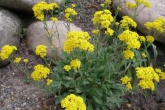 Aurinia saxitale (Perennial Alyssum)