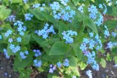 Brunnera macrophylla (Siberian Bugloss)