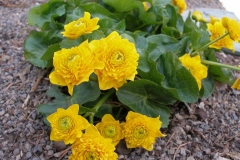 Caltha palustris 'Flore Pleno' (Double Marsh Marigold)