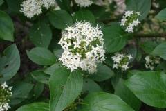 Cornus sericea (Dogwood)