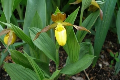 Cypripedium parviflorum (Lady's Slipper Orchid)