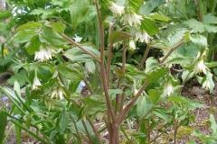 Disporum trachycarpum (Rough Fairy Bells)