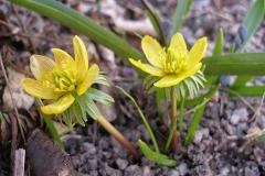 Eranthus hymenalis (Winter Aconite)