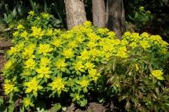 Euphorbia polychroma (Cushion Spurge)