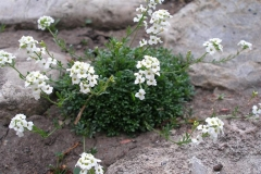 Hutchinsia alpina (Chamois Cress)