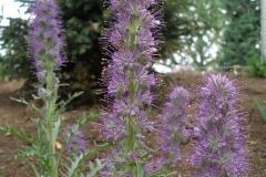 Phacelia sericea (Silky Scorpionweed)