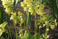 Primula elatior (Oxlip Primrose)