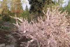 Prunus tomentosa (Nanking Cherry)