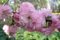 Prunus triloba 'Multiplex' (Double-flowering Plum)