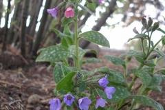 Pulmonaria saccharata (Lungwort)