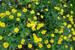 Ranunculus eschscholtzii (Buttercup)