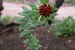 Rhodiola integrifolia (Sedum integrifolium)