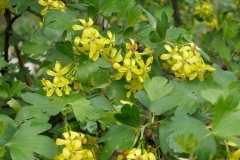 Ribes aureum (Golden Current)