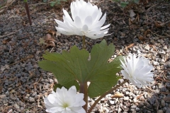Sanguinaria canadensis (Flore Pleno Bloodroot)