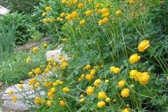 Trollius europeaus (European Globeflower)