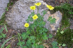 Trollius pumilus (Dwarf Globeflower)