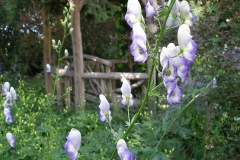 Aconitum x cammarum (Bicolor Monkshood)