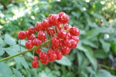 Actaea rubra red-berried (Baneberry)