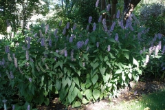 Agastache foeniculum 'Blue Fortune' (Hyssop)