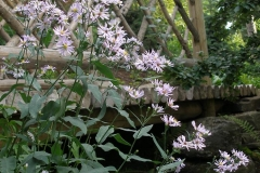 Aster laevis (Smooth Aster)