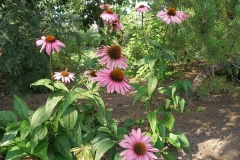 Echinacea purpurea 'Magnus' (Purple Coneflower)