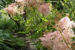 Filipendula rubra (Venusta Meadowsweet)