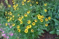 Helenium hoopesii (Helen's Flower)