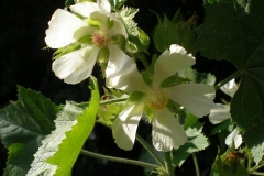 Kitaibela vitifolia (Russian Hollyhock)