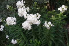 Phlox paniculata 'David' (Garden Phlox)
