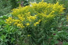 Solidago x 'Crown of Rays' (Goldenrod)