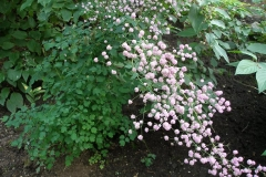 Thalictrum delavayii (Hewlitts Double Meadowrue)