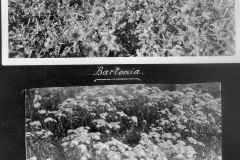 Bartonia and Achillaea in Garden