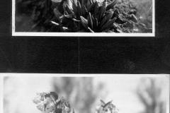 Primula and Pulmonaria