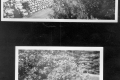 Yard and Persian Yellow Rose