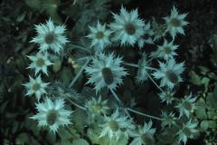 reader #100 Eryngium giganteum(f6.3 120 5pm aug20)