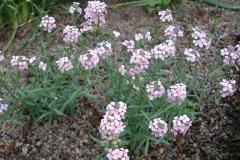 Aethionema armenum (Stonecress)