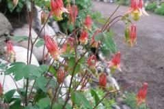 Aquilegia canadensis (Wild-Columbine)