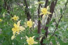 Aquilegia chrysantha (Golden Columbine)