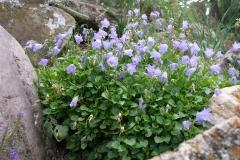 Campanula cochleariifolia (Fairy Thimbles)