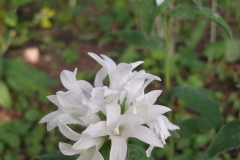 Campanula glomerata (white)